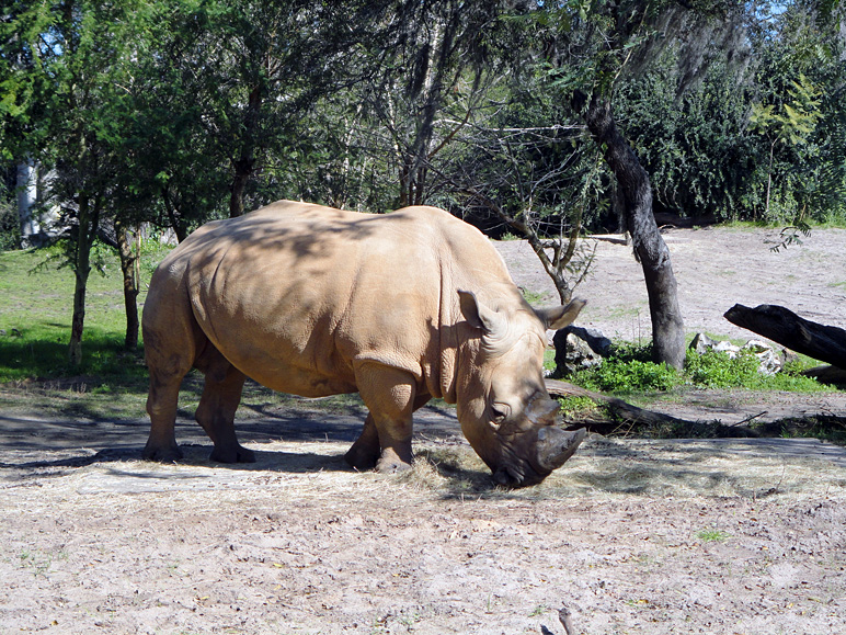 That's a white rhino (342.51 KB)