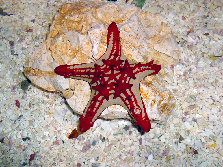 A star fish in the Mall of America's aquarium (314.30 KB)